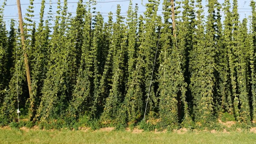 Detail of Hop Field before Harvest.Panning.