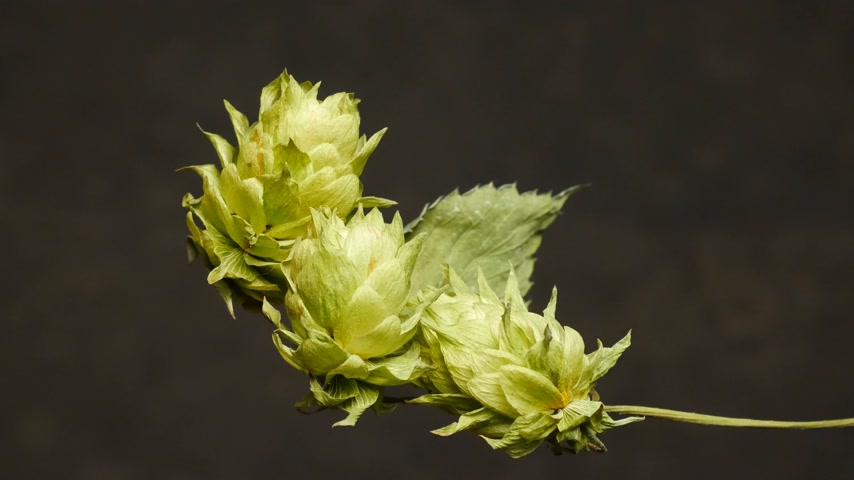 Detail of Hops Cones. No Camear Movement. Light Movement.