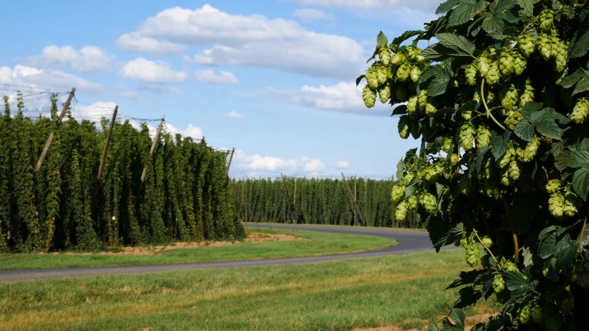 Tractor Carrying Hops to Harvester in Steknik Village. Czech Republic.