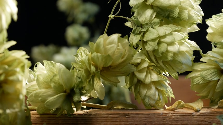 Detail of Dry Hop Cones. Shot with Slider. Stok Video
