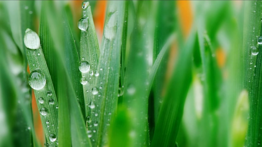 dewy : Background. Young wheat with drops of water. Mr.