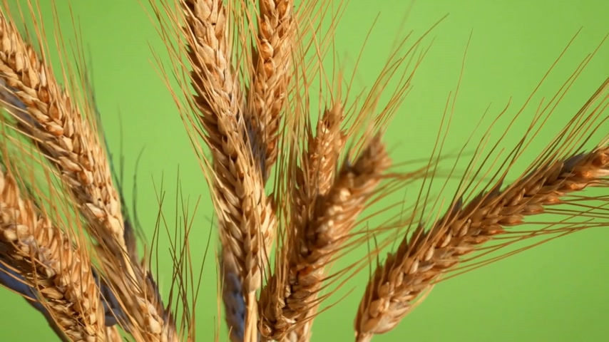 árpa : Sheaf of Barley on the Green Background. Rotation. Stock mozgókép