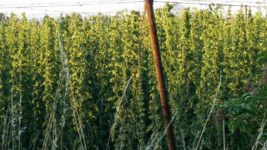 chmiel : Hop Field in Zatec Grow Area in Czech Republic. View from Above. Paning. Wideo