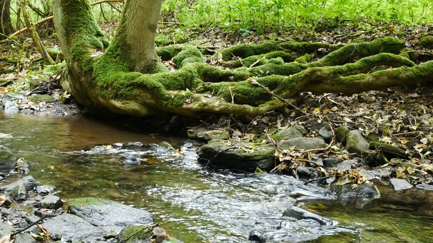 wilds : Creek with roots of tree in rainy wather. Oparno. Czech Republic. Stock Footage