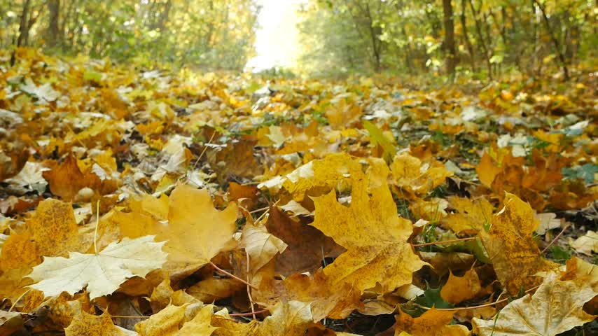 profundidade de campo rasa : Autumn background. Close-up of faling leaves in the autumn. Stock Footage