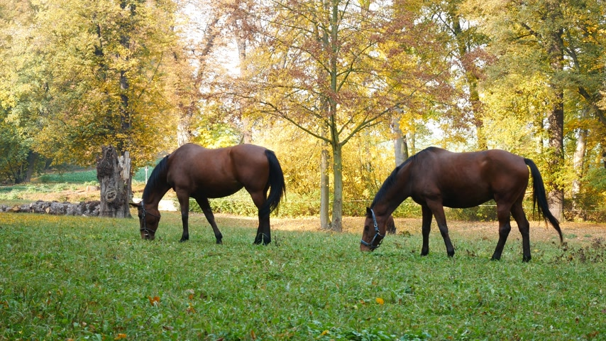ungulado : Horses grazing on the meadow. Hand held shot.