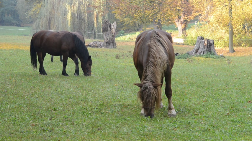 ungulado : Horses grazing on the meadow. No camera motion. Vídeos