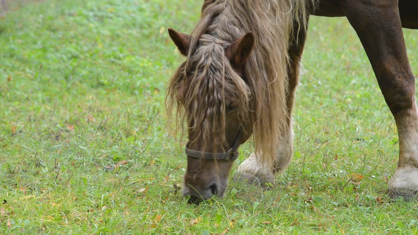 копытный : Horse grazing on the meadow. No camera motion. Detail.