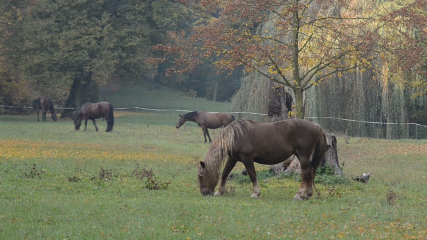 ungulado : Horses grazing on the meadow. No camera movement. Vídeos
