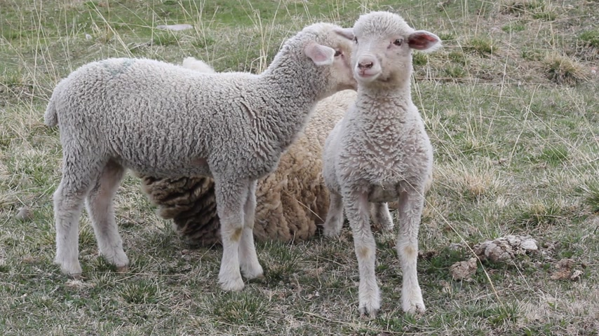cordeiro : Ewe with her two lambs to pasture