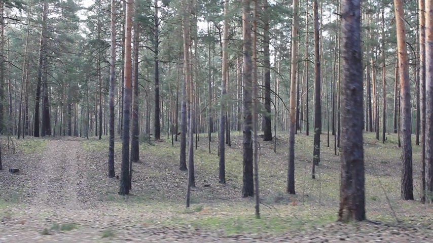 dzsungel : Beautiful coniferous forest, steadicam shot. Stock mozgókép