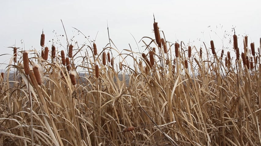 sazlık : Dry grass reed on the meadow. Autumn time. HD