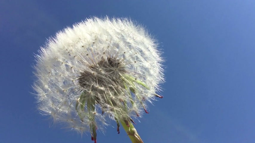 dmuchawiec : Dandelion seeds being blown in the wind in the blue sky.