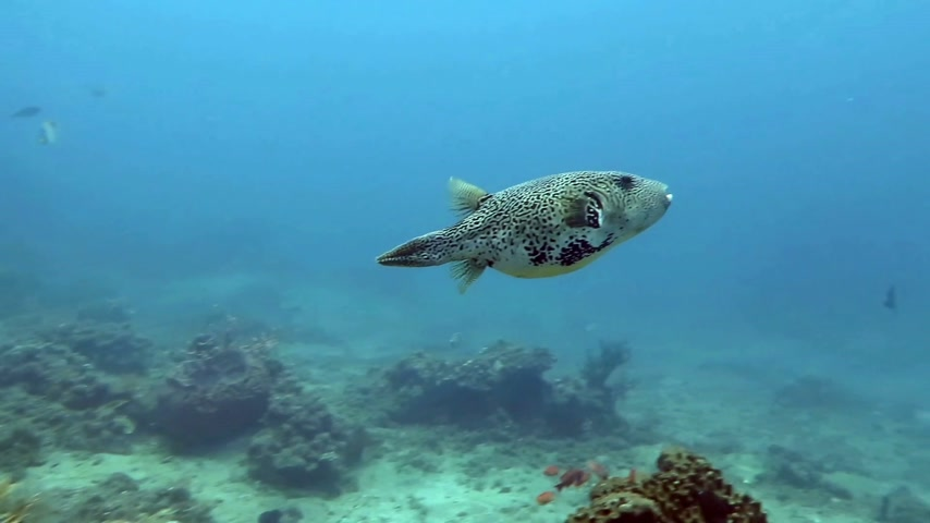 underwater scenes : Boxfish  floating in the depths of the ocean near the island of Bali.