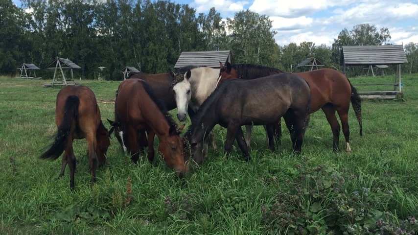 stádo : Herd horses grazing on a green meadow
