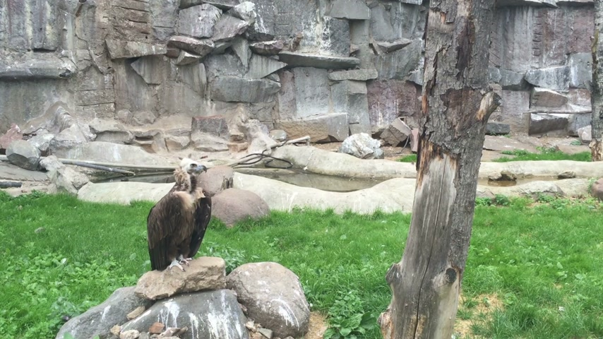 гриф : Griffin vulture sitting in the green grass