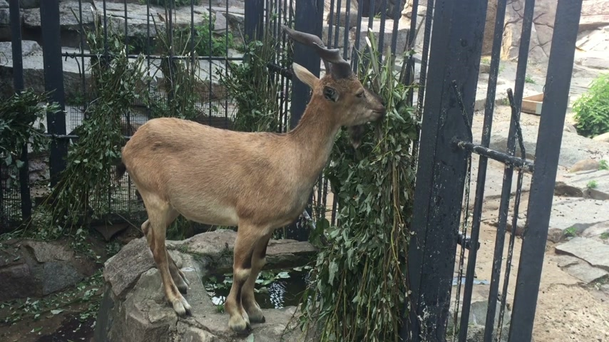 billy goat : Mountain goats eating grass and green branches