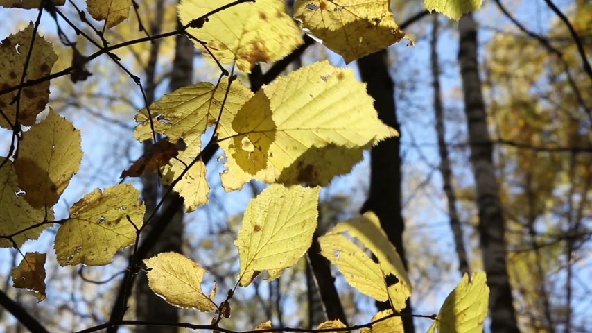 хлорофилл : Sun shining through fall leaves blowing in breeze.