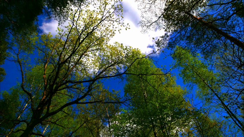 uzun boylu : Time lapse european mixed forest. Tops of the trees. Looking up to the canopy. UltraHD stock footage.