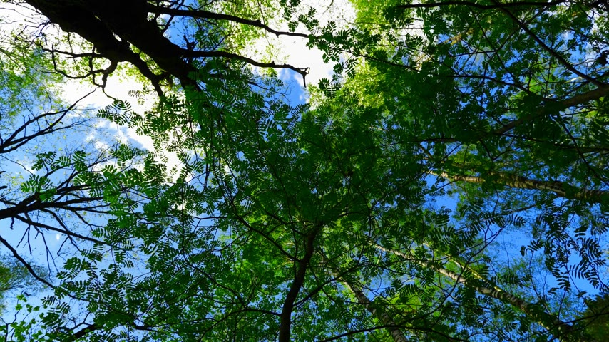 mocný : European mixed forest. Tops of the trees. Looking up to the canopy. UltraHD stock footage.
