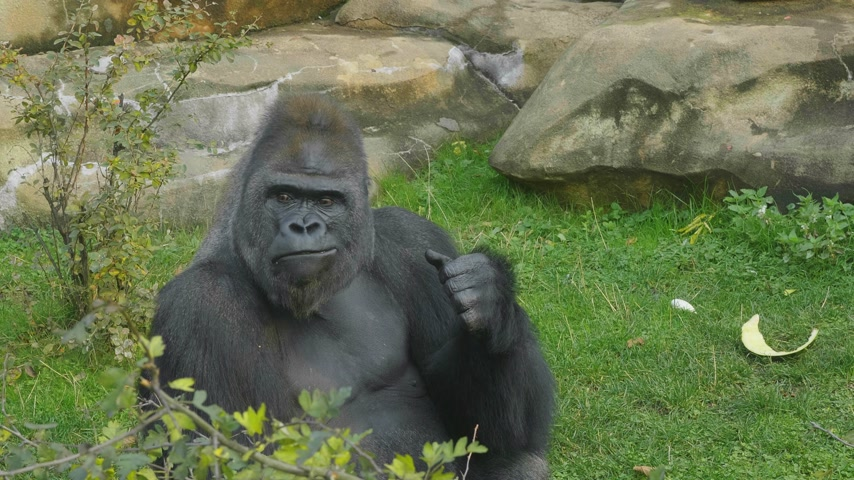 posou : Lowland gorilla on the epic pose of solving his problems.