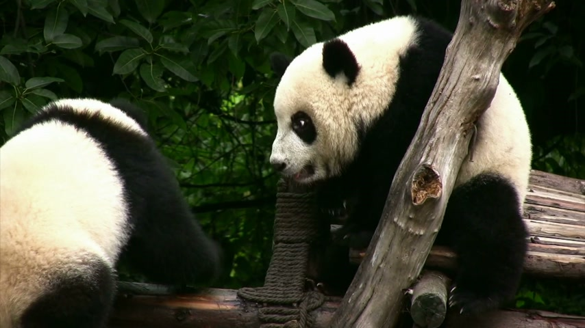population explosion : Two young pandas having fun