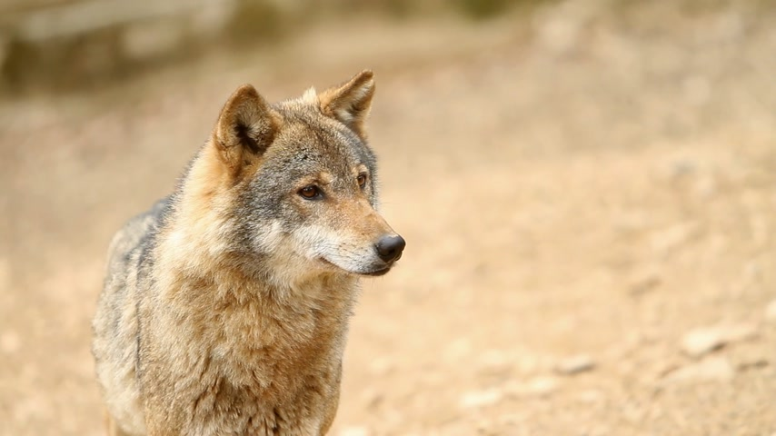 untamed : Wolf looking at something