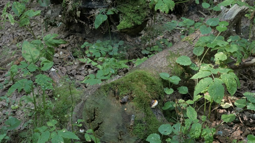 paproć : Old tree logs and roots covered with moss and spider webs in forest on summer day. Wideo