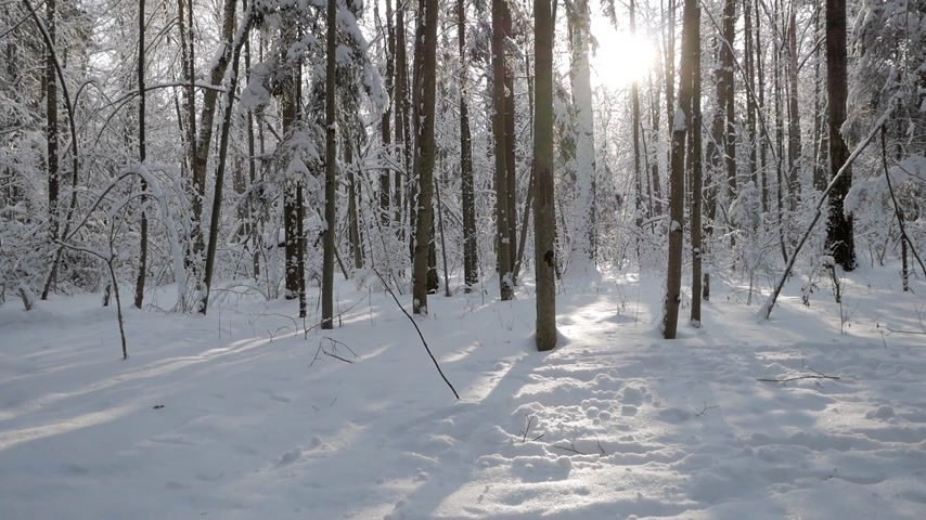 tilt down : Sun coming through trees casting shadows and covered with a thick layer of fresh snow in beautiful winter forest. Tilt down shot