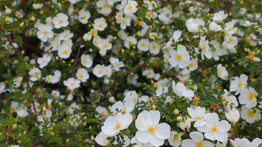 briar : Natural background of fresh spring white flowers, quivering in the wind