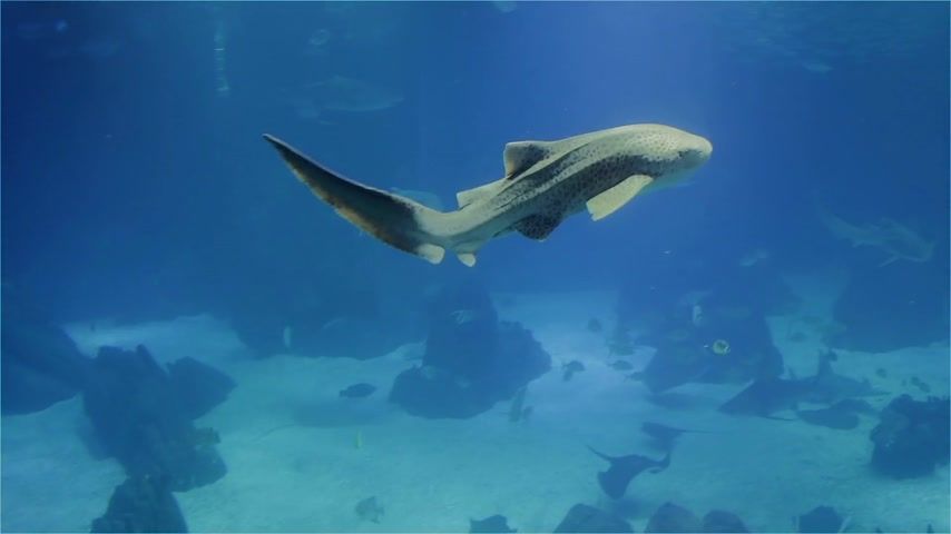 zebra : The shark is a nurse and a large marine stingray. A variety of tropical fish over a coral reef. Stock Footage