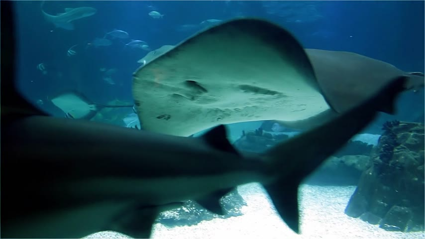 tourist silhouette : Large marine stingray and sharks. A lot of fish in the sea coral reef Stock Footage