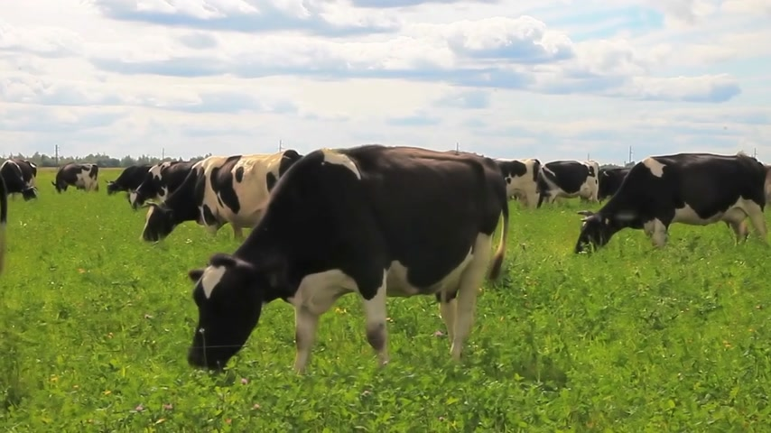 cow eats : Grazing cows in a meadow. The cow eats grass,