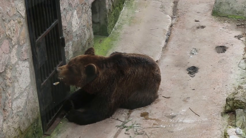 obediente : An adult brown bear eats honey from a spoon. A man is feeding a bear through a grate