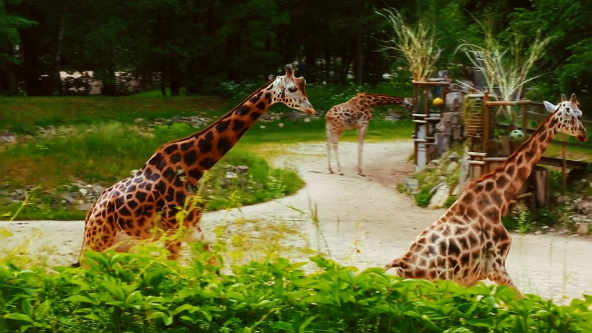 пробуждение : Group of young African giraffes on a walk Стоковые видеозаписи