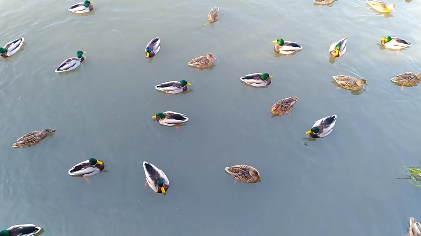 Wild ducks swim in the pond. View from above Wideo