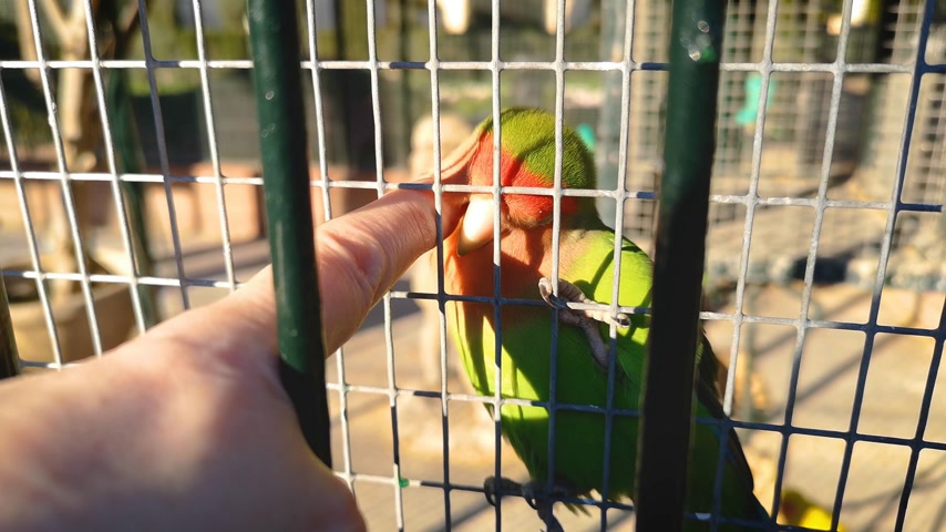 гладильный : A sociable parrot, a lovebird, likes to be stroked on the head. Стоковые видеозаписи