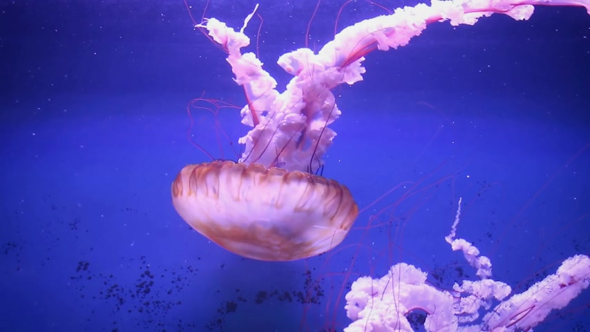 omurgasız : Large pink sea jellyfish swim slowly in blue water.