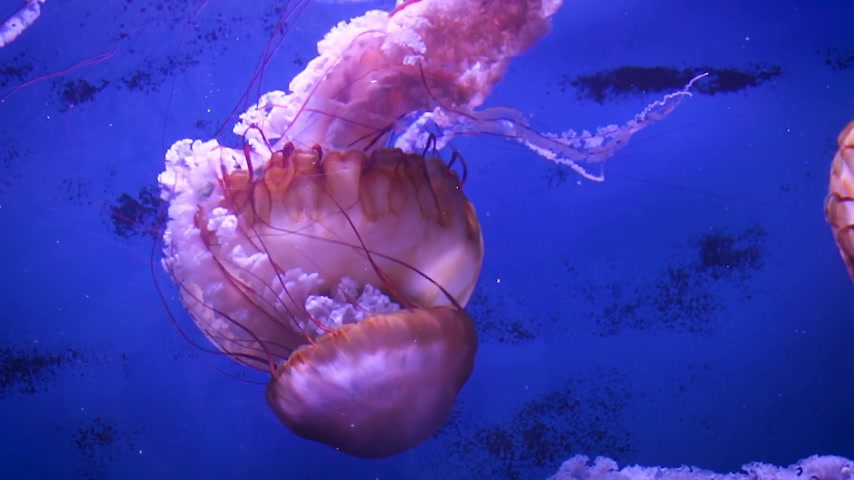 Large pink sea jellyfish swim slowly in blue water.