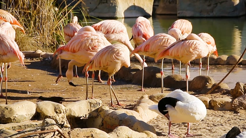 swamp bird : A group of pink flamingos resting near a small pond Stock Footage