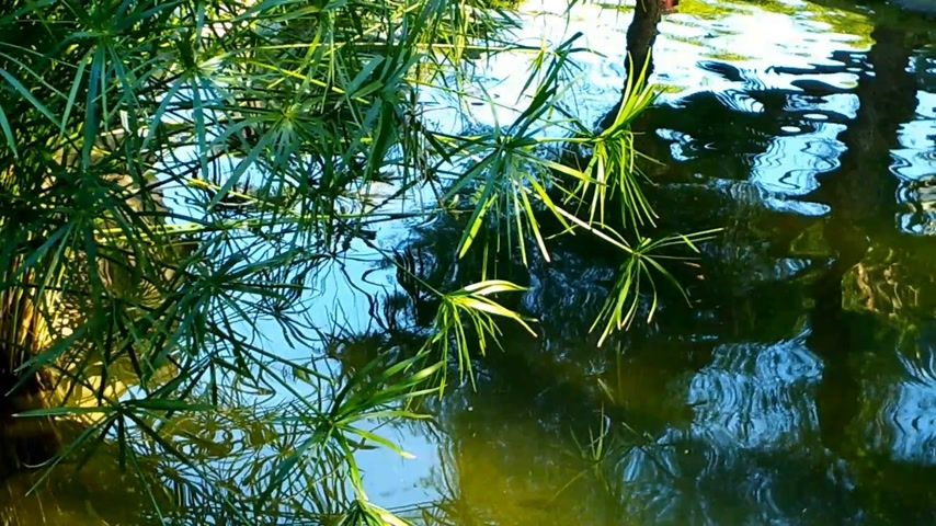 pelicans : Beautiful large white pelicans swim in a small pond