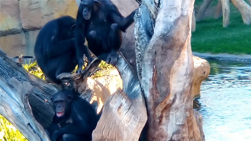 megvitatása : Family of chimpanzees resting on a tree. Chimpanzee strokes another