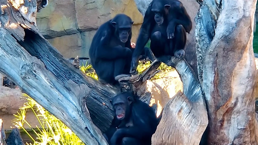 megvitatása : Family of chimpanzees resting on a tree. Chimpanzee female chases the observer