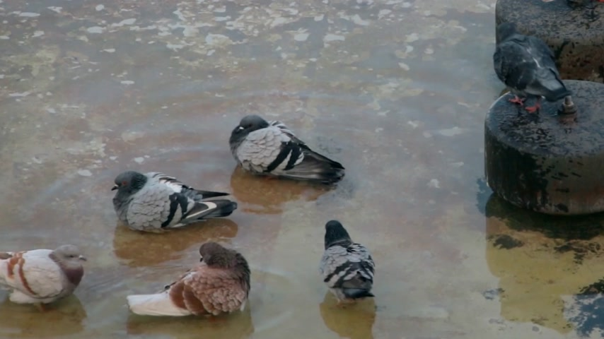 tenger : A group of urban pigeons swimming in the pond