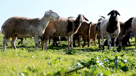 savci : group of sheep and lamb eating grass in the countryside farm  Dostupné videozáznamy