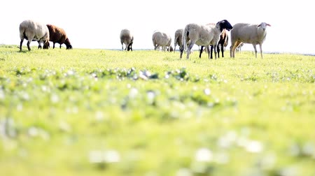 juh : group of sheep and lamb eating grass in the countryside farm  Stock mozgókép