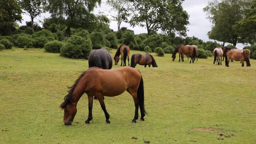 wildtiere : New Forest Ponys Lyndhurst Hampshire England UK touristischen Lage Videos