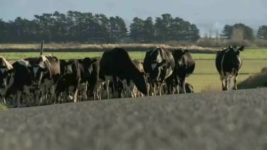 friesian : Wairapa - New Zealand. Cows being herded along New Zealand road for milking Stock Footage