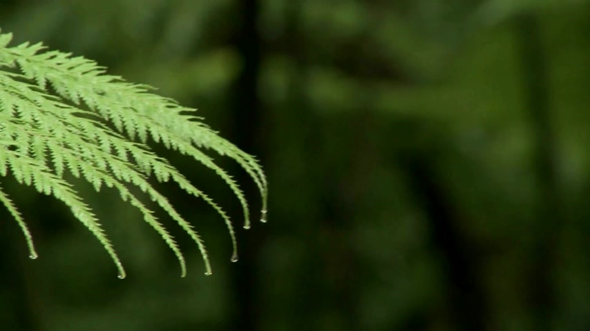krzak : New Zealand fern. Ealy morning dew on fern