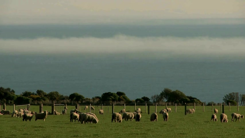 koyun : Wairapa, New Zealand. sheep grazingin field on coastal farm